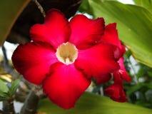 Deserto Rosa di Obesum del Adenium Fotografia Stock Libera da Diritti