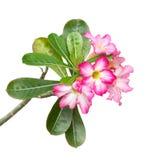 Deserto Rosa no branco Foto de Stock