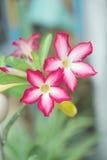 Deserto Rosa ou azálea trocista com folhas verdes Imagens de Stock Royalty Free