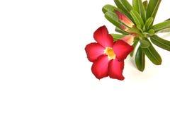 Deserto Rosa vermelho Imagens de Stock