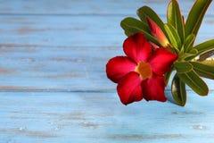 Deserto Rosa vermelho Imagens de Stock Royalty Free