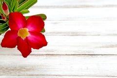 Deserto Rosa vermelho Fotos de Stock