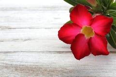 Deserto Rosa vermelho Fotografia de Stock Royalty Free