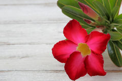 Deserto Rosa vermelho Fotos de Stock Royalty Free