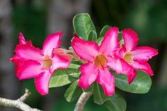 Deserto Rose Flower Imagens de Stock Royalty Free
