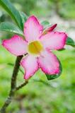 Deserto Rose Flowers Fotografia Stock Libera da Diritti