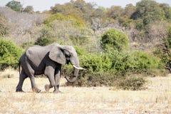 Deserto só do cruzamento de Bull do elefante Fotos de Stock Royalty Free