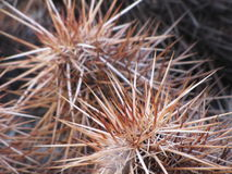 Desertscape. Prickily desert thorns cactus closeup Stock Photography