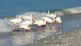 Desfile de Ibis Fotos de archivo
