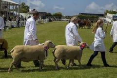 Desfile de las ovejas Imágenes de archivo libres de regalías