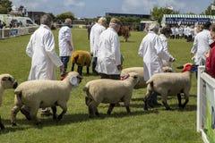 Desfile de las ovejas Foto de archivo libre de regalías