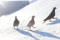 Desfile de palomas fotografía de archivo libre de regalías