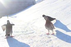 Desfile de palomas Imagen de archivo libre de regalías