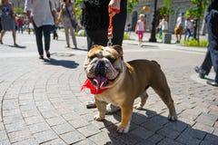 Desfile del dogo fotos de archivo libres de regalías