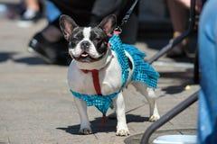 Desfile del dogo fotografía de archivo