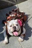 Desfile del dogo imagen de archivo