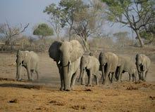 Desfile del elefante africano Imágenes de archivo libres de regalías