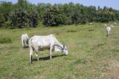 Desflorestamento para o gado, Guiana Francesa fotografia de stock royalty free