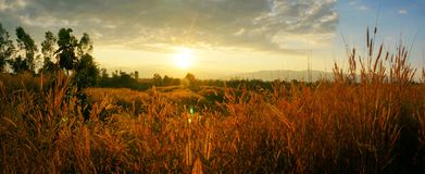 Desho grass Pennisetum pedicellatum at sunset time. Beautiful grass flower. background grass flower and orange light floral backgr. Ound,panorama grass during royalty free stock photography
