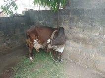 Desi由它的舌头的母牛清洁 免版税库存照片