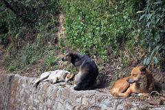 Desi dogs on a stone wall in Darjeeling Royalty Free Stock Photo
