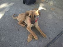 Desi-Hund Lizenzfreie Stockfotografie