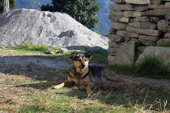 Desi-Hund in Indien, das aus den Grund liegt Lizenzfreie Stockfotos