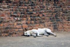 Desi-Hunde, die durch eine Steinwand liegen Stockbilder