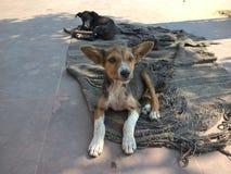 Desi hundkapplöpning av Indien Arkivbild