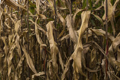Desiccated Corn Royalty Free Stock Images