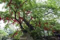 Desiderio dell'albero Fotografia Stock