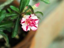 Desierto blanco y rosado color de rosa u obesum del Adenium Imágenes de archivo libres de regalías