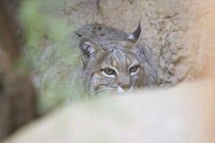 Desierto Bob Cat Hiding Behind Rock de Arizona Fotografía de archivo