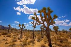 Desierto California del Mohave del valle de Joshua Tree National Park Yucca Imágenes de archivo libres de regalías