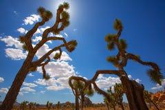 Desierto California del Mohave del valle de Joshua Tree National Park Yucca Imagenes de archivo