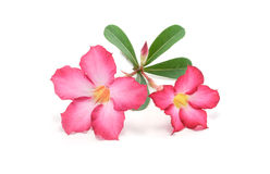 Desierto color de rosa o fondo del blanco de Ping Bignoniaon Imagen de archivo