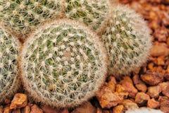 Desierto de la flor del cactus tropical fotos de archivo