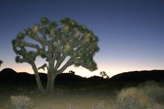 Desierto de Mojave de Joshua Tree Big Rocks Yucca Brevifolia de la subida de la roca Foto de archivo libre de regalías