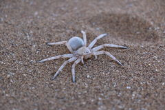 Desierto de Namib peligroso de la araña Foto de archivo libre de regalías