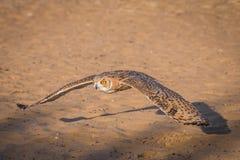 Desierto Eagle Owl Fotografía de archivo libre de regalías