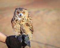 Desierto Eagle Owl Imágenes de archivo libres de regalías