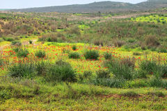 Desierto floreciente Fotografía de archivo libre de regalías