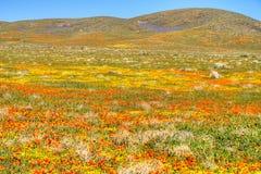 Desierto floreciente Fotos de archivo