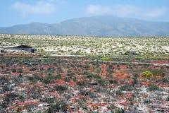 Desierto floreciente en el desierto de Atacama chileno Foto de archivo libre de regalías