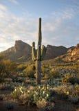 Desierto hermoso de Sonoran del cacto del Saguaro Imagen de archivo libre de regalías