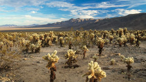 Desierto por completo del cactus de Cholla Foto de archivo libre de regalías