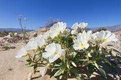 Desierto Primerose Imagen de archivo