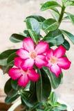 Desierto Rose Foto de archivo libre de regalías