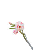 Desierto Rose Fotografía de archivo libre de regalías