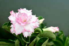 Desierto Rose Fotos de archivo